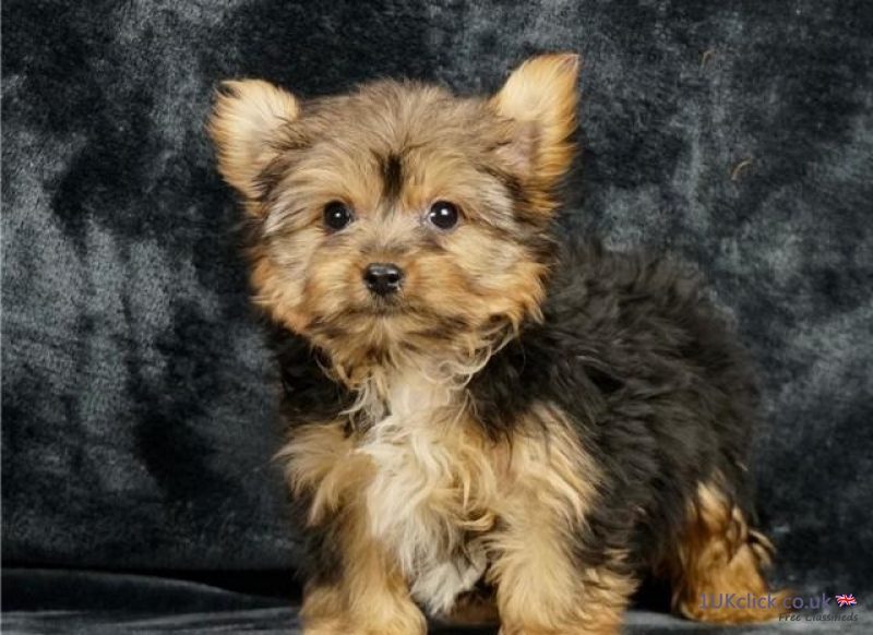 Cute Yorkie puppies for sale Puppies